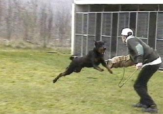 10-dobermann-attack-training-3