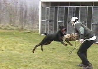 11-dobermann-attack-training-4