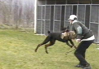 12-dobermann-attack-training-5