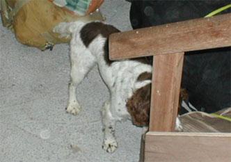 28-airport-springer-detection-dog
