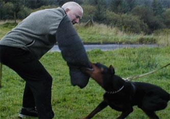 8-dobermann-attack-training