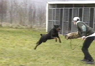 9-dobermann-attack-training-2