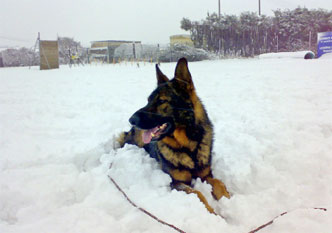 94-gsd-security-dog-in-snow